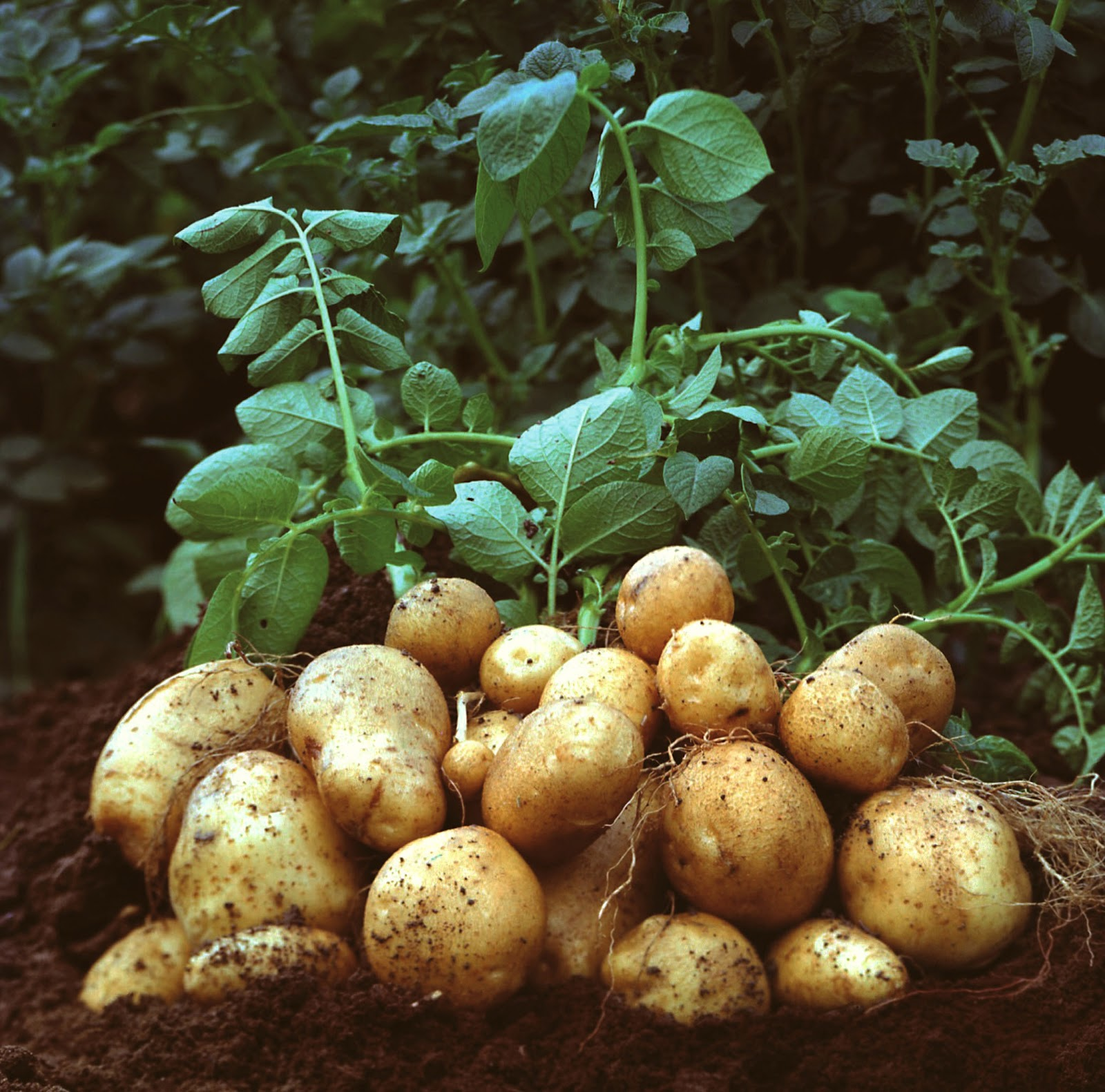Growing Potatoes as a survival crop