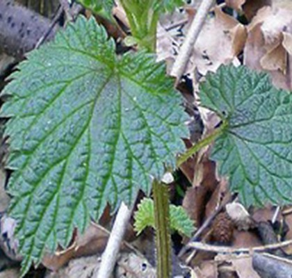 survival with stinging-nettles